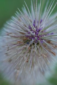 Purple and white teazle in Teazle Wood