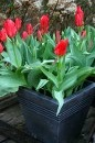 red tulips in a black tub