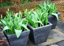 tubs of tulips
