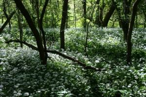 wild garlic white flowers in Teazle Wood