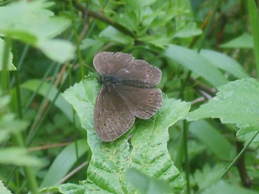 grey brown butterfly resting on leaves