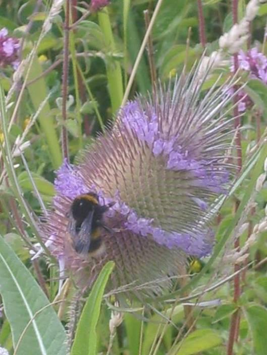 bee on flowering purple teazle